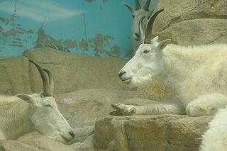 シロイワヤギの画像 p1_8