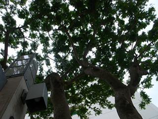 街路樹は、まああたりまえにでかいのだけれど。