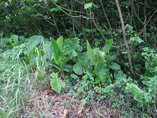 ちょっと道をはずれるともうジャングルの匂いがするのも沖縄。