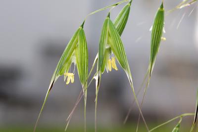 カラスムギの花。
