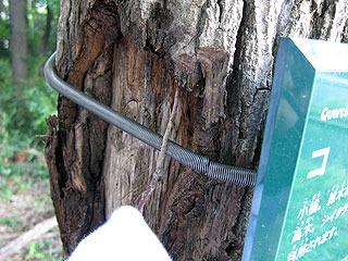木の皮の間にいる虫を棒でつつく小柳さん。こういう知恵の使い方はテレビで見たことある