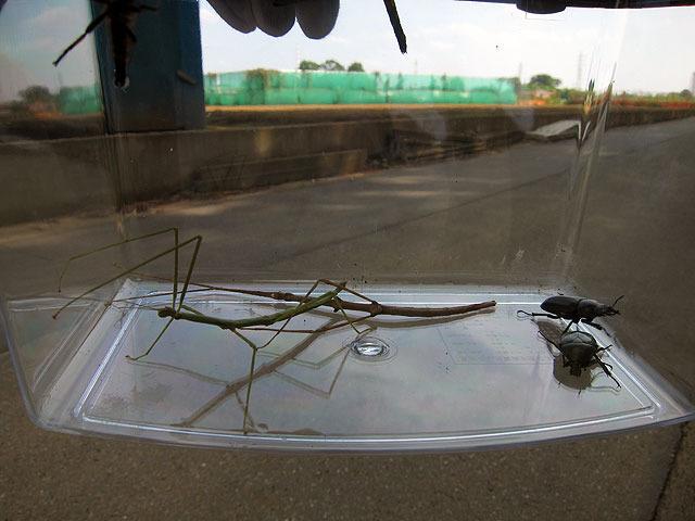 そのあと平坂さんも見つけて(奥の枝っぽいやつ)、あわせて2匹に。右は最初に捕まえたコクワガタと、カナブン。