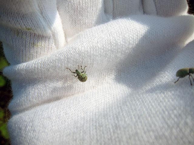 こちらのコフキゾウムシは葉の上で交尾中のところを捕獲。すみませんでした…