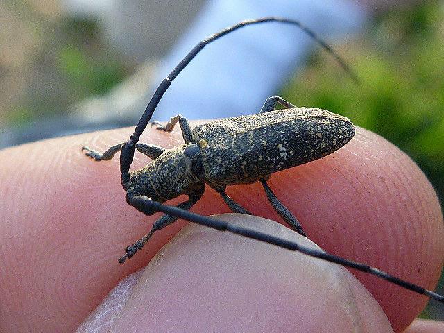 手に持ってるのはヒメヒゲナガカミキリ。小さい体に似合わず、キィキィとけっこう大きな声で鳴く