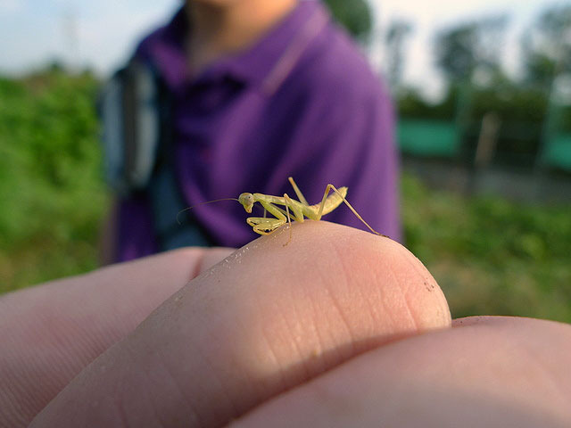 カマキリの幼虫もいた。教室で誰かが持ってきた卵が孵化、これが大量発生してパニックになるのは田舎の小学校では定番