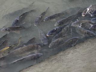 川にいる、たくさんの鯉が跳ねる音とか