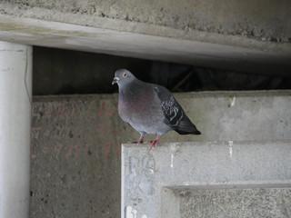 橋裏にいる鳩が鳴く音とか