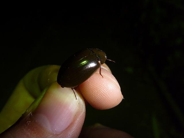 水生昆虫の仲間であるコガムシ