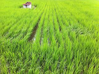 徳島では植えたてだった稲も、随分伸びたね