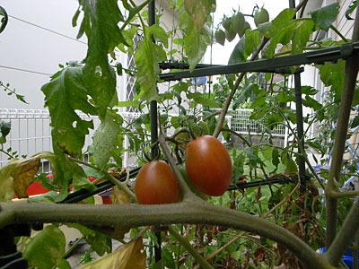 ミニトマトって軒先に植えるとものすごい木みたいになるから注意したほうがいいよ。