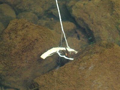目の前にスルメを落とすと、すぐに挟んできた。「見えている魚は釣れない」というけれど、ウチダザリガニは見えていても釣れるみたい。