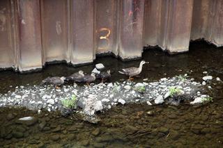 空堀川ではカルガモの親子がのんびり