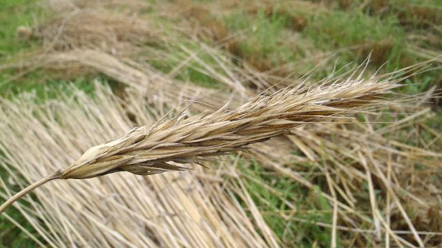 麦。穂をとったワラの部分を使います。