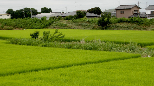 田んぼの真ん中を走る草の部分が、群馬県と埼玉県の県境なのです