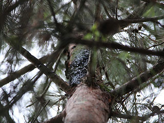 松の木を見上げると焦げていた。なぜ木が焦げる?
