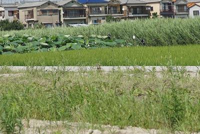 かと思えばその向かいには水田とレンコン畑が広がっている。