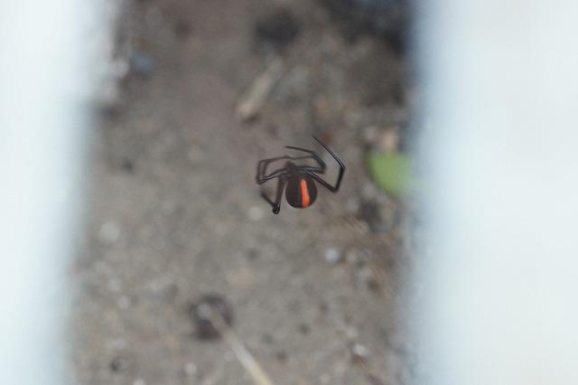 大阪と言えばこいつ。オーストラリアからやってきたセアカゴケグモ。門真にもばっちり生息していた。