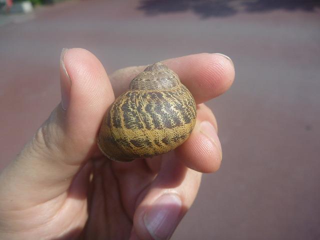 日本のカタツムリよりも殻の高さがあって丸っこいイメージ。模様も特徴的で美しい。