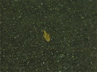 自分が蹴った枯れ葉に悲鳴あげる夏の夜・・