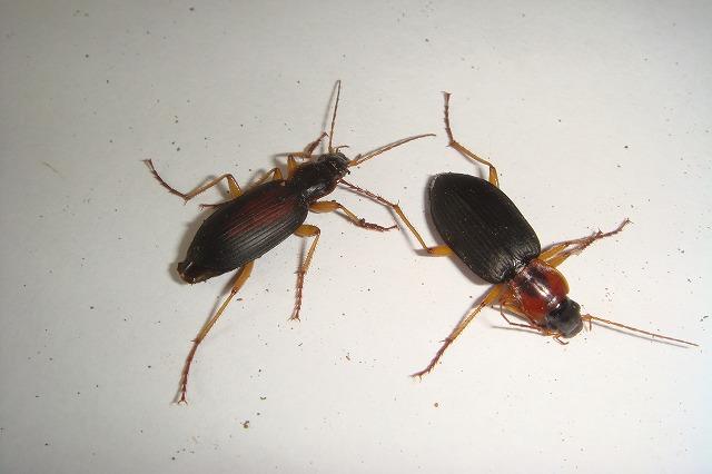 まずはおなじみのダンゴムシである。10個中5つのトラップに入っていた。雑食性なのでゴキブリ用の誘引剤に引き寄せられたのも不思議ではない。計12匹を採集。