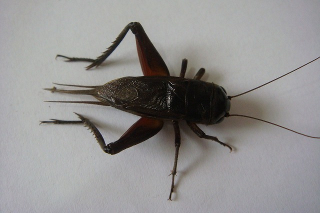 コオロギの画像 p1_8