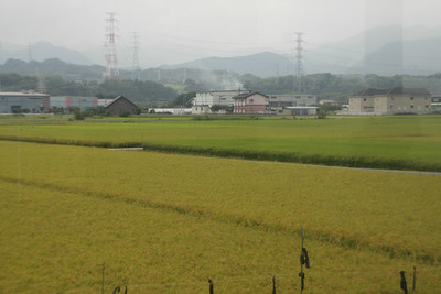 稲も黄色くなりつつありますな