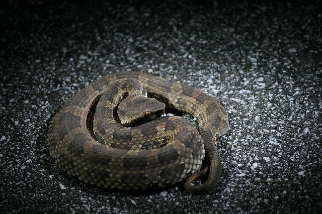 またヘビだー!しかもとぐろを巻いて臨戦態勢。