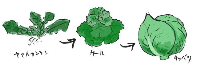 例えばキャベツの祖先は、ヤセイカンランという雑草。
