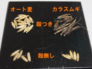カラスムギはびっくりするぐらい麦だった。