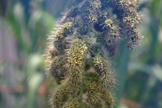 雑穀の代表、アワ(8月撮影)