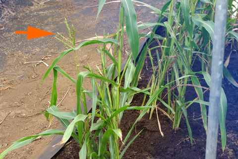 8月に撮影したテオシント。トウモロコシの雄花っぽい物出てる!