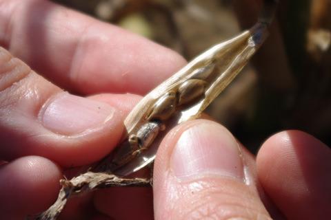 これがテオシントの完熟状態。茶色い。
