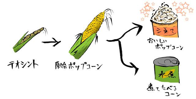 トウモロコシ、ポップコーン起源説を提唱します!