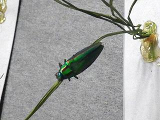 お遊びで稲に付けられていたタマムシが、拾ってきた本物と知って驚愕した。