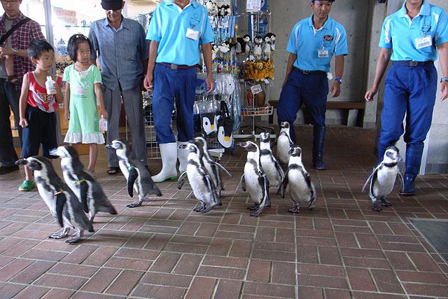散歩に出るペンギンたち。