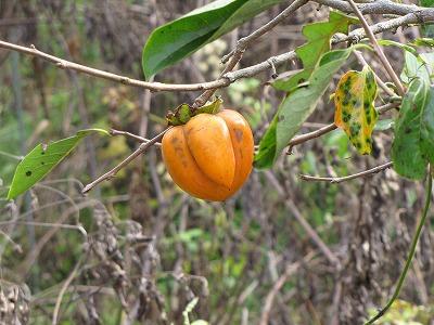 妙な形の柿を見つけてはしゃいでみたり。