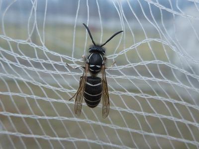 これはヘボの働き蜂。こう書くとまるで働き者を馬鹿にしているようだ。