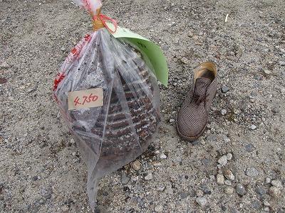 残念ながらタイミングが合わず、優勝したヘボの巣は撮影できなかったが、3位に入賞した金田さんの4750グラムの巣を見せてもらった。27センチの靴と比較するとその迫力が伝わるだろう。