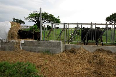 程無くして私の前に現れたのは、牛だ