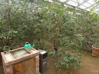 ジャボチカバの木がたくさん