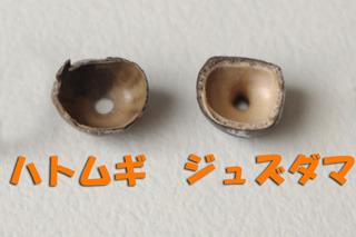 殻が薄いハトムギ。さすが作物。