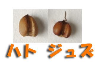 実が大きいハトムギ。さすが作物。