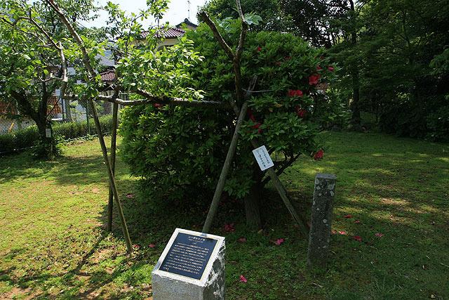 シーボルトの木。