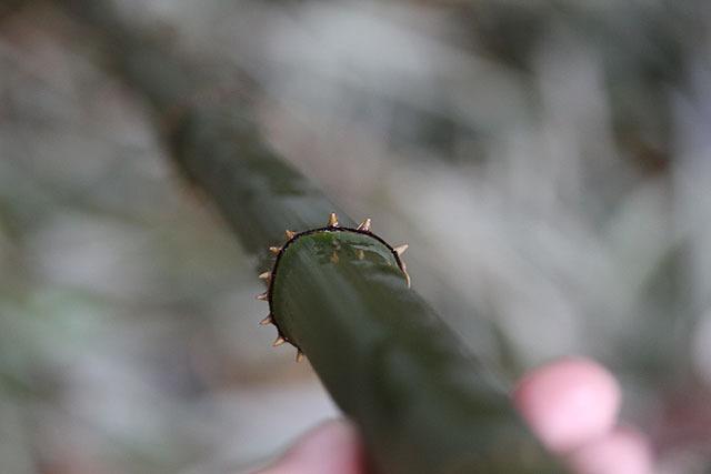 節の部分にトゲが生えている。