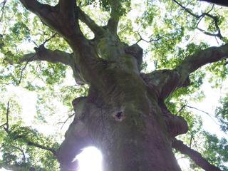 象やサイを彷彿とさせる樹齢850年の巨木が見ごたえあり