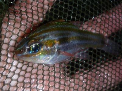 テンジクダイの一種。カラフルな縞模様がいかにも熱帯魚といった印象。