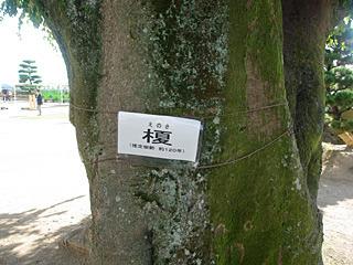 樹齢120年の大木。お城ができた時からあるんだろうなと思ったが、お城は400年前からあるんだよね。