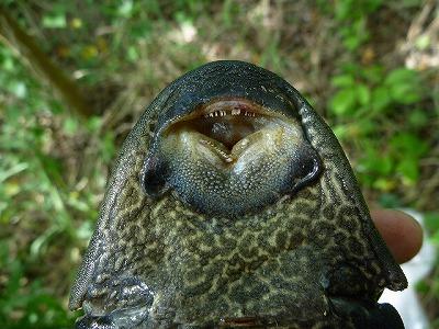 水底や岩に張り付いたエサを食べるための変な形の口。何から何まで変な魚だ。