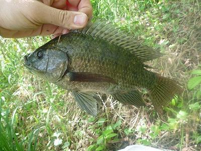 タイのようなこの魚はアフリカ原産のナイルティラピア。沖縄中の川や池にいる。