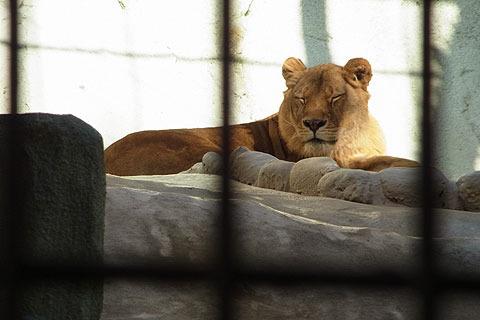 ライオンも寝てる。